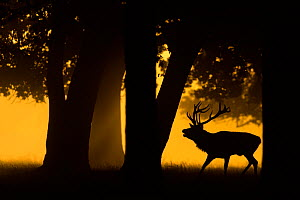 Red deer (Cervus elaphus) stag roaring, silhouetted under trees at sunrise. Bushy Park, London, UK. September  -  Oscar Dewhurst