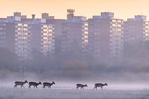 Fallow deer (Dama dama) walking across frost-covered playing fields at dawn, with tower blocks of London in the background. Richmond Park, London, UK. December  -  Oscar Dewhurst