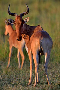 Hartbeest (Alcelaphus buselaphus) with young, Masai Mara, Kenya.  -  Loic Poidevin