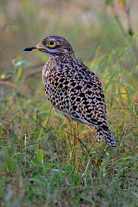 Spotted thick-knee (Byrhinus capensis) in bush, Masai Mara, Kenya. - Loic Poidevin