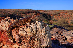 Mereenie velvet gecko (Oedura luritja) female from the sandstone rock formations in the Watarrka National Park, central Australia, Northern Territork, Autumn. - Robert Valentic