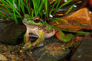 Spotted tree frog (Litoria spenceri) from Still Creek in north-eastern Victoria, Australia. - Robert Valentic