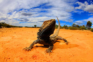 Central bearded dragon (Pogona vitticeps) basking in mallee / heathland habitat on the Murrayville Track in the Big Desert Wilderness of north-western Victoria, Australia.  -  Robert Valentic