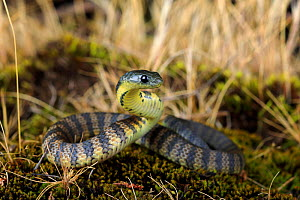 Eastern tiger snake (Notechis scutatus) newly hatched, Waratah Bay,South Gippsland, Victoria, Australia, June. - Robert Valentic