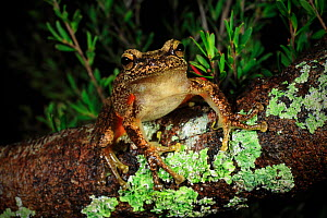 Heath or Littlejohn's tree frog (Litoria littlejohni) from riparian heath in the Parma Creek Nature Reserve west of Jervis Bay, New South Wales, Australia. - Robert Valentic