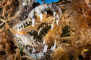 American crocodile (Crocodylus acutus) with open mouth amongst Seagrass (Alismatales). Gardens of the Queen National Park, Cuba. - Shane Gross