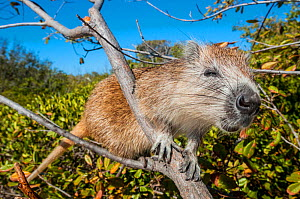 Desmarest's hutia (Capromys pilorides) climbing in tree. Gardens of the Queen National Park, Cuba.  -  Shane Gross