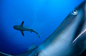 Caribbean reef shark (Carcharhinus perezi), two from below, one close up. Caribbean Sea off Gardens of the Queen National Park, Cuba.  -  Shane Gross