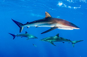 Silky shark (Carcharhinus falciformis), three in Caribbean Sea off Gardens of the Queen National Park, Cuba.  -  Shane Gross