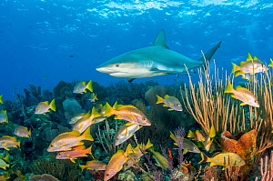 Caribbean reef shark (Carcharhinus perezi) patrolling coral reef with Schoolmaster snapper (Lutjanus apodus) and other fish. Caribbean Sea off Gardens of the Queen National Park, Cuba.  -  Shane Gross