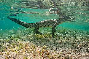 American crocodile (Crocodylus acutus) in coastal waters. Caribbean Sea off Gardens of the Queen National Park, Cuba. - Shane Gross