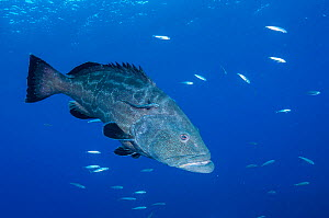 Black grouper (Mycteroperca bonaci) with Remora fish (Remora sp). Caribbean Sea off Gardens of the Queen National Park, Cuba.  -  Shane Gross