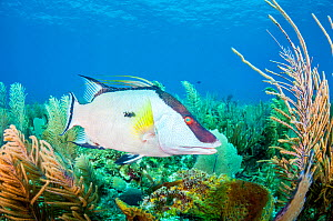 Hogfish (Lachnolaimus maximus) swimming over coral reef. Caribbean Sea off Gardens of the Queen National Park, Cuba.  -  Shane Gross