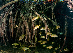 Schoolmaster snapper (Lutjanus apodus) shoal sheltering amongst Red mangrove (Rhizophora mangle) roots. Caribbean Sea off Gardens of the Queen National Park, Cuba. - Shane Gross