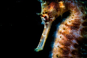 Thorny or spiny seahorse (Hippocampus histrix) portrait made off Anilao, Philippines.  -  Shane Gross