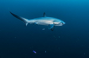 Pelagic thresher shark (Alopias pelagicus) cleaned by Bluestreak cleaner wrasse (Labroides dimidiatus) at Monad Shoal off Malapascua Island, Philippines.  -  Shane Gross
