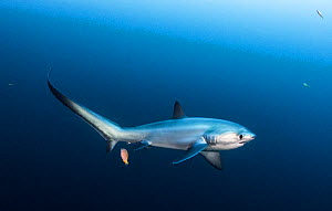 Pelagic thresher shark (Alopias pelagicus) being cleaned by a bluestreak cleaner wrasse (Labroides dimidiatus) at Monad Shoal off Malapascua Island, Philippines.  -  Shane Gross