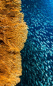 School of Sardines (Clupeidae) swims past a sea fan. Moalboal, Philippines. - Shane Gross