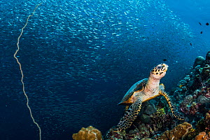 Hawksbill sea turtle (Eretmochelys imbricata) feeding on sponges along a coral wall off, with sardines (Clupeidae) in the background. Moalboal, Philippines - Shane Gross