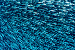 Dense school of sardines (Clupeidae) Moalboal, Philippines. - Shane Gross