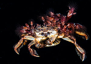 Unknown species of pelagic swimming crab, covered in barnacles swimming in the open ocean at night. She is tending to her eggs in a pouch. Anilao, Philippines.  -  Shane Gross