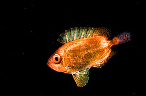A juvenile soldierfish, possibly a Crescent-tail bigeye (Priacanthus hamrur) in the open ocean at night off Anilao, Philippines. - Shane Gross