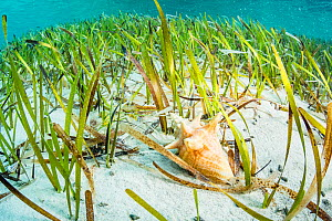Queen conch (Lobatus gigas) juvenile feeding on algae growing on Seagrass (Thalassia testudinum) blades. Eleuthera, Bahamas. - Shane Gross