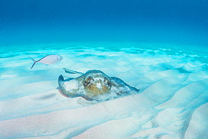 Southern stingray (Dasyatis americana) feeding in soft sand while a bar jack (Caranx ruber) waits to eat scraps. Eleuthera, Bahamas. - Shane Gross