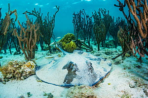 Southern stingray (Hypanus americanus) resting on the seabed sheltered by coral. Eleuthera, Bahamas. - Shane Gross