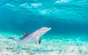Bottlenose dolphin (Tursiops truncatus) underwater playing in the shallows off Eleuthera, Bahamas.  -  Shane Gross