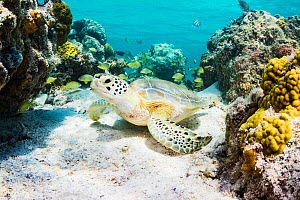 Green sea turtle (Chelonia mydas) resting in a coral reef. Eleuthera, Bahamas.  -  Shane Gross