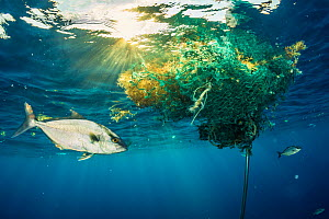 Almaco jack (Seriola rivoliana) uses a discarded fishing net, drifting in the open ocean as shelter. The Bahamas.  -  Shane Gross