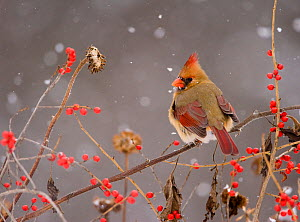 Northern Cardinal (Cardinalis cardinalis) female perched amid berries and seedheads with falling snow, New York, USA. November. Non-ex. - Marie  Read