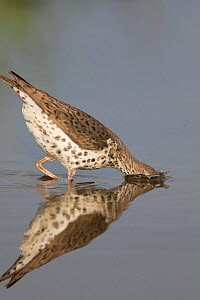 Spotted sandpiper (Actitis macularius), with head submerged as it jabs at underwater prey, Caroline, New York, USA, May. - Marie  Read
