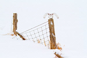 Snowy Owl (Nyctea scandiaca) female preparing to take flight from its perch on a fence, Barrie, Ontario, Canada. February.  -  Marie  Read
