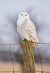 Snowy Owl (Nyctea scandiaca) female perched, Amherst Island, Ontario, Canada, January. - Marie  Read