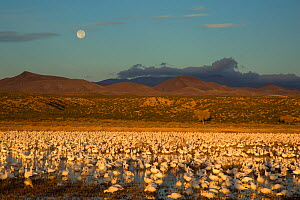 Snow Geese (Chen caerulescens) large flock in pool at Bosque Del Apache National Wildlife Refuge with setting full moon at sunrise in December, New Mexico, USA. December.  -  Marie  Read