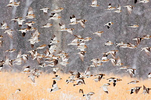 Snow buntings (Plectrophenax nivalis) flock in flight during a snowstorm, New York, USA, January. - Marie  Read