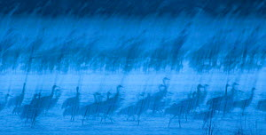 Abstract interpretation of Sandhill Cranes (Grus canadensis) at roost during spring migration in March, Rowe Sanctuary, Kearney, Nebraska, USA. March. Long exposure.  -  Marie  Read