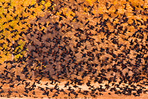 Mixed Blackbird flock, mostly Red-winged Blackbirds (Agelaius phoeniceus), in flight against backdrop of autumn foliage in November, Bosque Del Apache National Wildlife Refuge, New Mexico, USA. Novemb... - Marie  Read