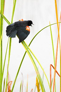 Red-winged Blackbird (Agelaius phoeniceus) male displaying in cattail marsh, Viera Wetlands, Brevard County, Florida, USA, January.  -  Marie  Read