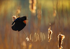 Red-winged Blackbird (Agelaius phoeniceus) male displaying in cattail marsh, backlighting, Ithaca, New York, USA, April. - Marie  Read