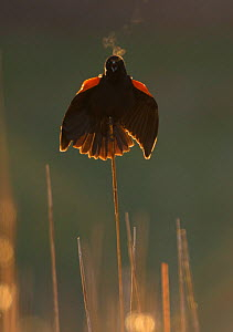Red-winged blackbird (Agelaius phoeniceus) male calling and displaying, backlit, showing steamy breath on a chilly spring morning, Ithaca, New York, USA, April. - Marie  Read