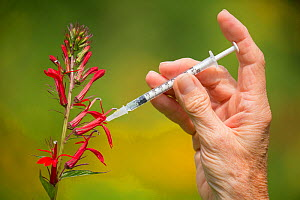 Backyard setup for photographing Ruby-throated Hummingbirds (Archilocus colubris) in summer, New York, USA. A medical syringe is used to inject a few drops of sugar solution into the flower (set up in...  -  Marie  Read