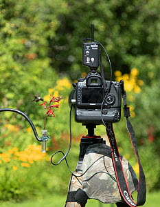 Backyard setup for photographing Ruby-throated Hummingbirds (Archilocus colubris) in summer, New York, USA. A natural food plant (cardinal flower (Lobelia cardinalis)) in a floral tube of water is tie... - Marie  Read