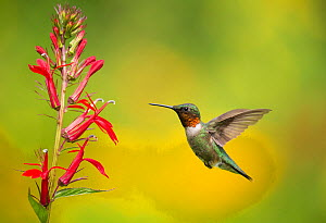 Ruby-throated Hummingbird (Archilocus colubris), male flying in to feed from cardinal flowers (Lobelia cardinalis) New York, USA. August.  -  Marie  Read