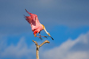 Roseate spoonbill (Ajaia ajaja), adult in breeding plumage flying in to land on a perch, Orlando, Florida, USA, March. - Marie  Read