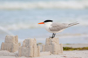 Royal tern (Sterna maxima) perching on a sand castle on a beach, Fort De Soto Park, St. Petersburg, Florida, USA, March.  -  Marie  Read