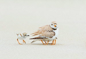 Piping Plover (Charadrius melodus) brooding three chicks with a fourth approaching, northern Massachusetts, USA.June. Endangered species. - Marie  Read