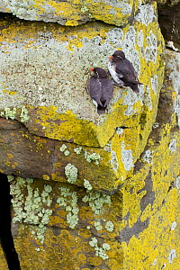 Parakeet auklets (Aethia psittacula) pair perched on lichen-covered rock on cliff face, St. Paul Island, Pribilofs, Alaska, USA, July.  -  Marie  Read